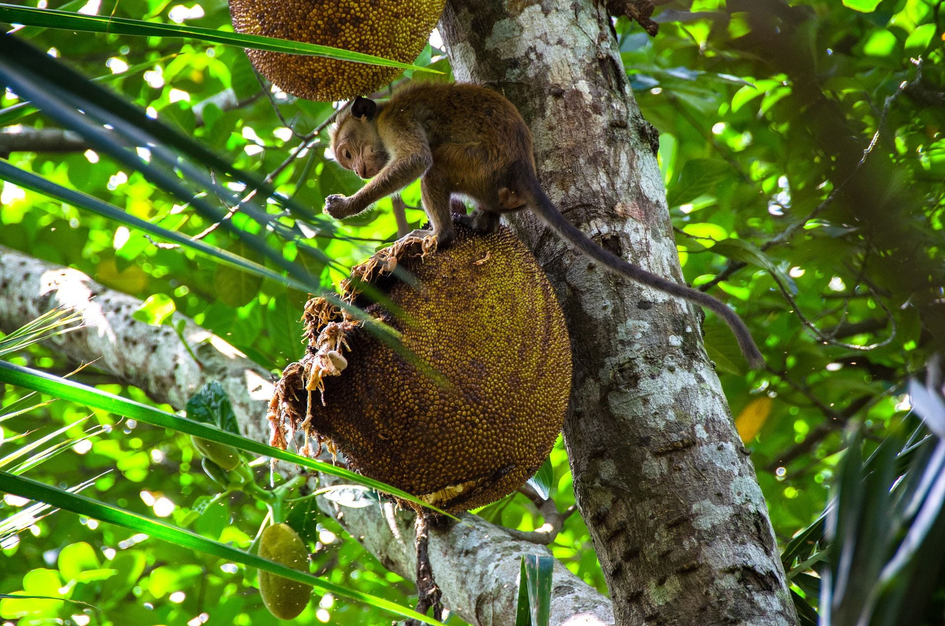 A young macaque enjoys some jackfruit up in the trees.