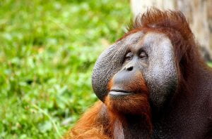 A male orangutan with flanges on his face looks off to the side.