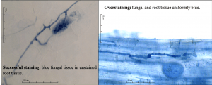 Left side image shows fungal tissue stained blue with root tissue unstained. This is a successful stain. The right hand image shows both root and fungal tissue stained blue, i.e. overstained.