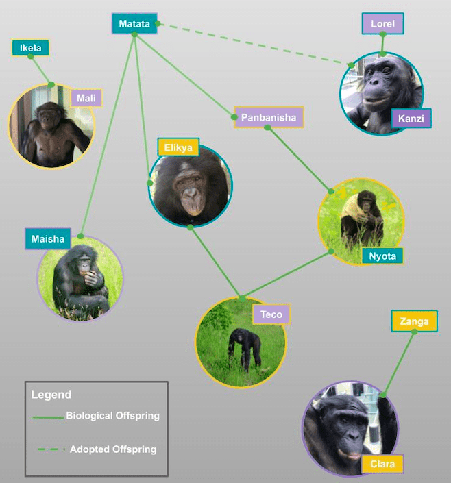 Pictured is the Ape Initiative family tree. Kanzi is the eldest male and is not biologically related to the other apes, but was adopted as an infant by the groups' now deceased matriarch, Matata. Matata is mother to Maisha, Elikya, and Panbanisha (now deceased). Panbanisha is mother to Nyota, and Elikya and Nyota are parents to Teco. Mali and Clara are the newest additions and came from the San Diego Zoo and Cincinnati Zoo, respectively.