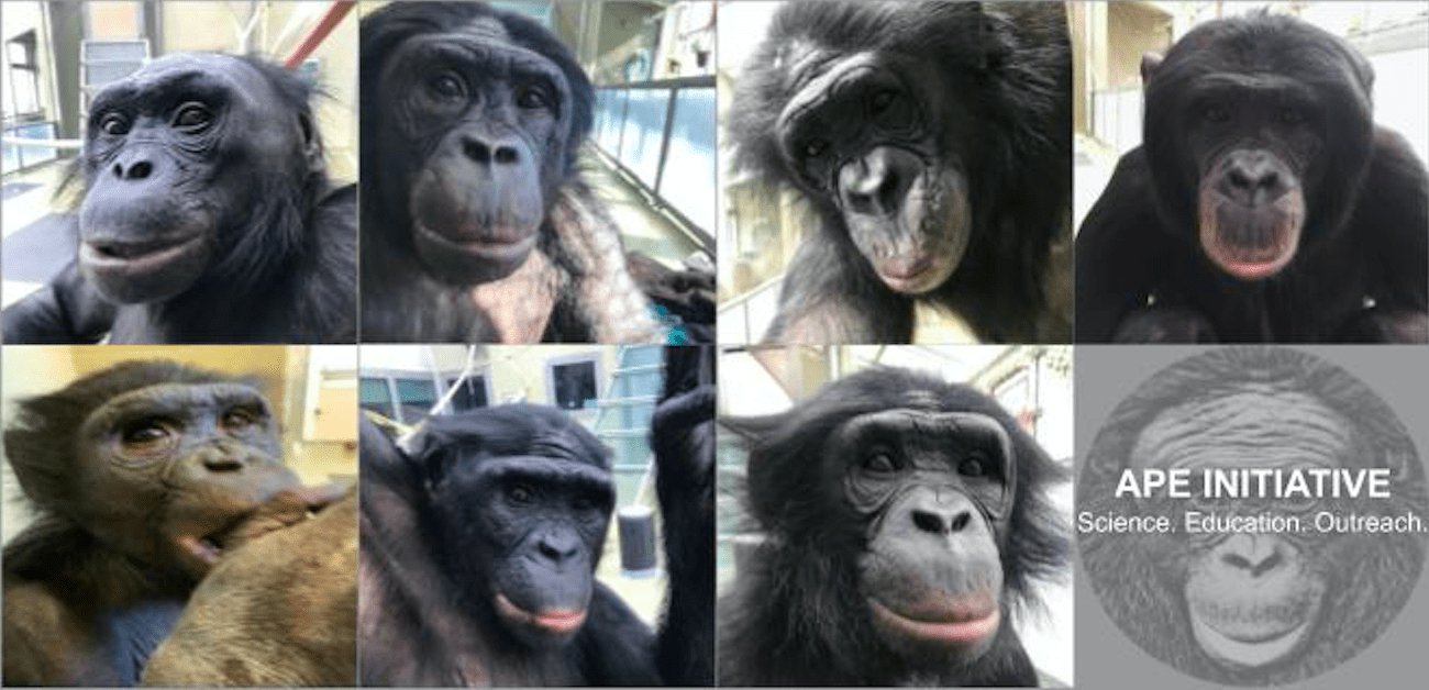 [Pictured are the seven bonobo residents of the Ape Initiative. Starting in the top left to right is Kanzi, Maisha, Elikya and Nyota. The bottom row from left to right is Mali, Clara, and Teco.]