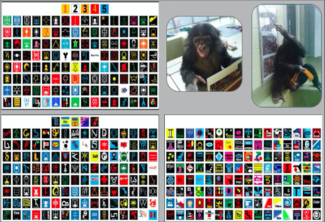 Pictured are the lexigram keyboards the bonobos use to communicate with staff. Similar to hieroglyphics, the lexigrams are nondescript images and/or geometric shapes representing items, ideas, and concepts. Teco is pictured using a mobile keyboard in his lap, and Kanzi is pictured using a stationary keyboard to request a food item.