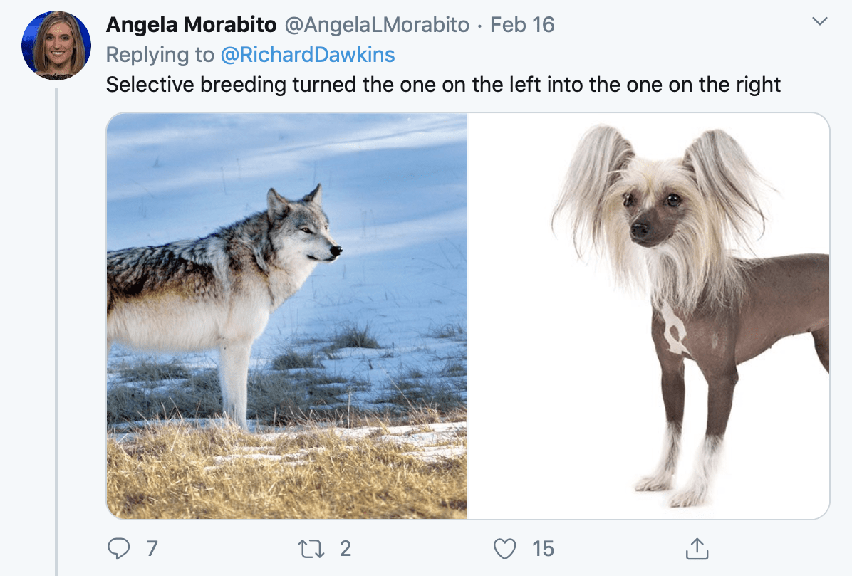 A tweet comparing a wolf to a mildly ridiculous looking domesticated dog (a Chinese Crested)