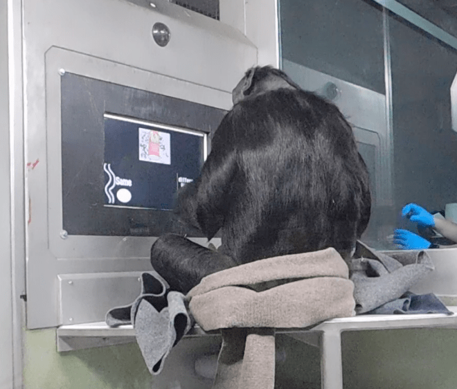 [Picture is Kanzi, a male bonobo, participating in a touchscreen research task investigating syntax processing in great apes]