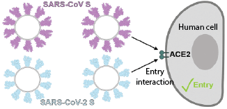 Cartoon image of Sars-COV-2 (COVID–19) entering into a human cell.
