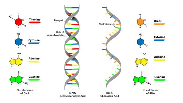 Comparison of the double-helix and single-stand structure of DNA and RNA.