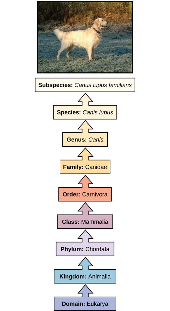 """A diagram of the modern taxonomic system, in which a domestic dog is used as an example. A picture of a golden retriever is at the top of the diagram. The superior and subordinate categories are listed in order from the bottom to the top of the page, and each category is listed in a colored box with an arrow pointing upward. The superior categories are shown in cool colors, while the subordinate categories are shown in warm colors. The following categories are displayed, starting at the bottom of the diagram: purple box, """"Domain: Eukarya""""; blue box, """"Kingdom: Animalia""""; light purple box, """"Phylum: Chordata""""; pink box, """"Class: Mammalia""""; orange box, """"Order: Carnivora""""; dark yellow box, """"Family: Canidae""""; yellow box, """"Genus: Canis""""; light yellow box, """"Species: Canis lupus""""; and white box, """"Subspecies: Canis lupus familiaris."""""""