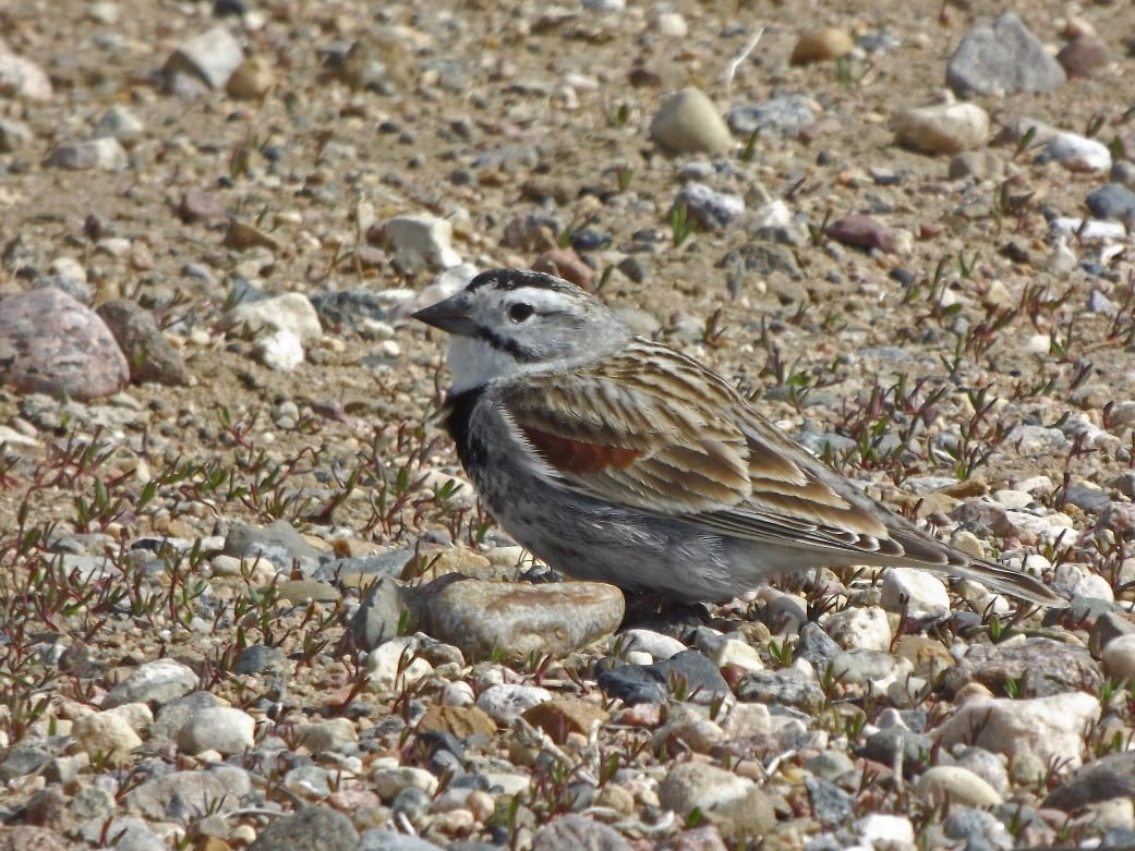 A small gray bird with black markings on its belly and face and light brown wings stands on a rocky plain.