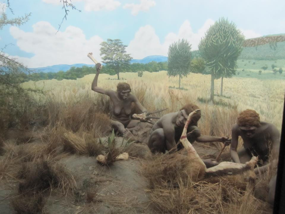 Three female Australopiths are working together to cut apart the meat of two antelopes amid tall brown grass. Two of the females are using wooden tools.