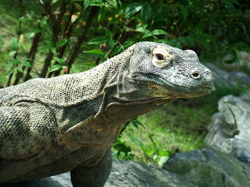 Side View of upper torso and head of adult komodo dragon