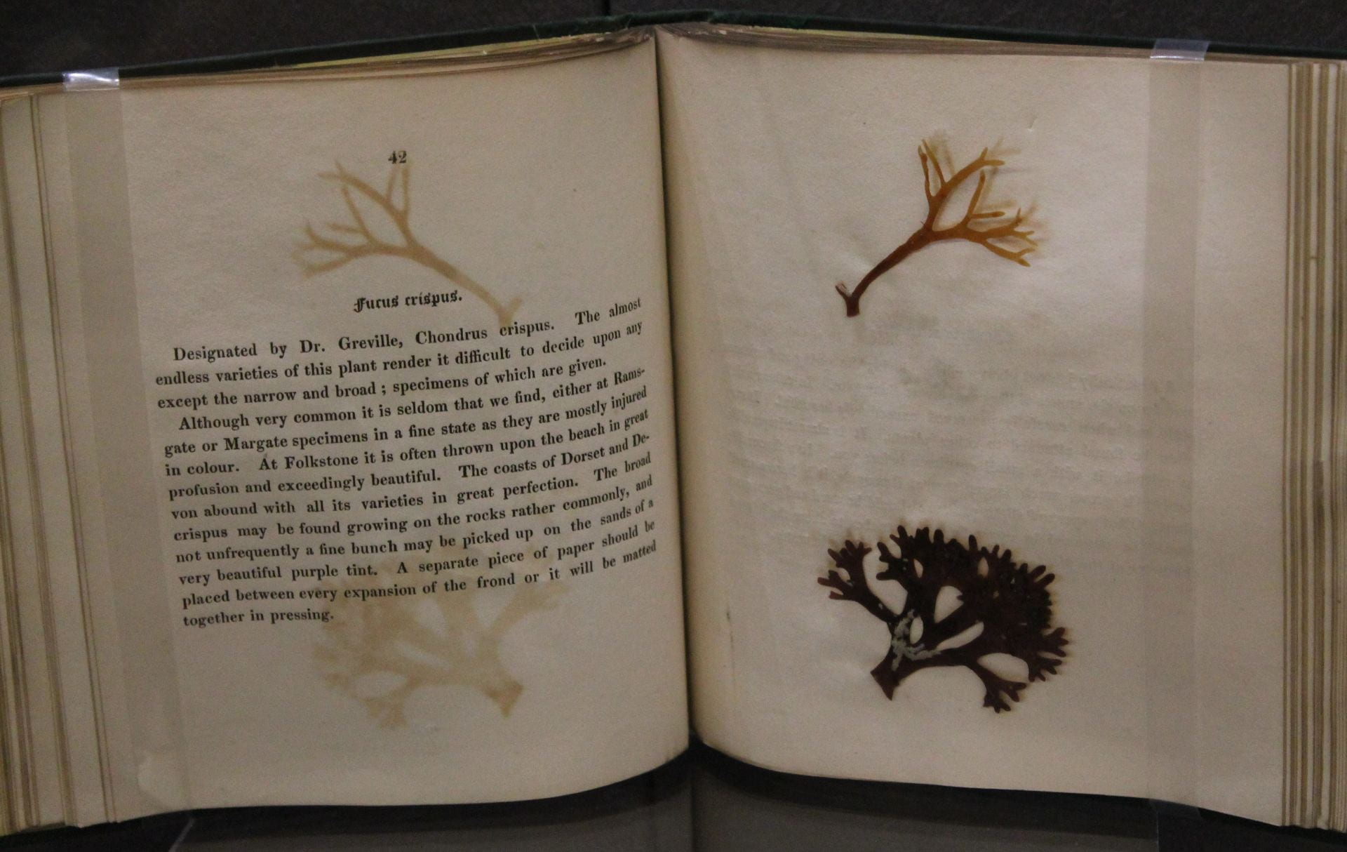 [A picture of an open book with two specimens of seaweed pasted onto the right-hand page and a description of the seaweed on the left.]