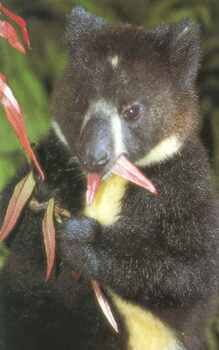 Shot of upper torso and head of bondegezou eating leaves from a tree.