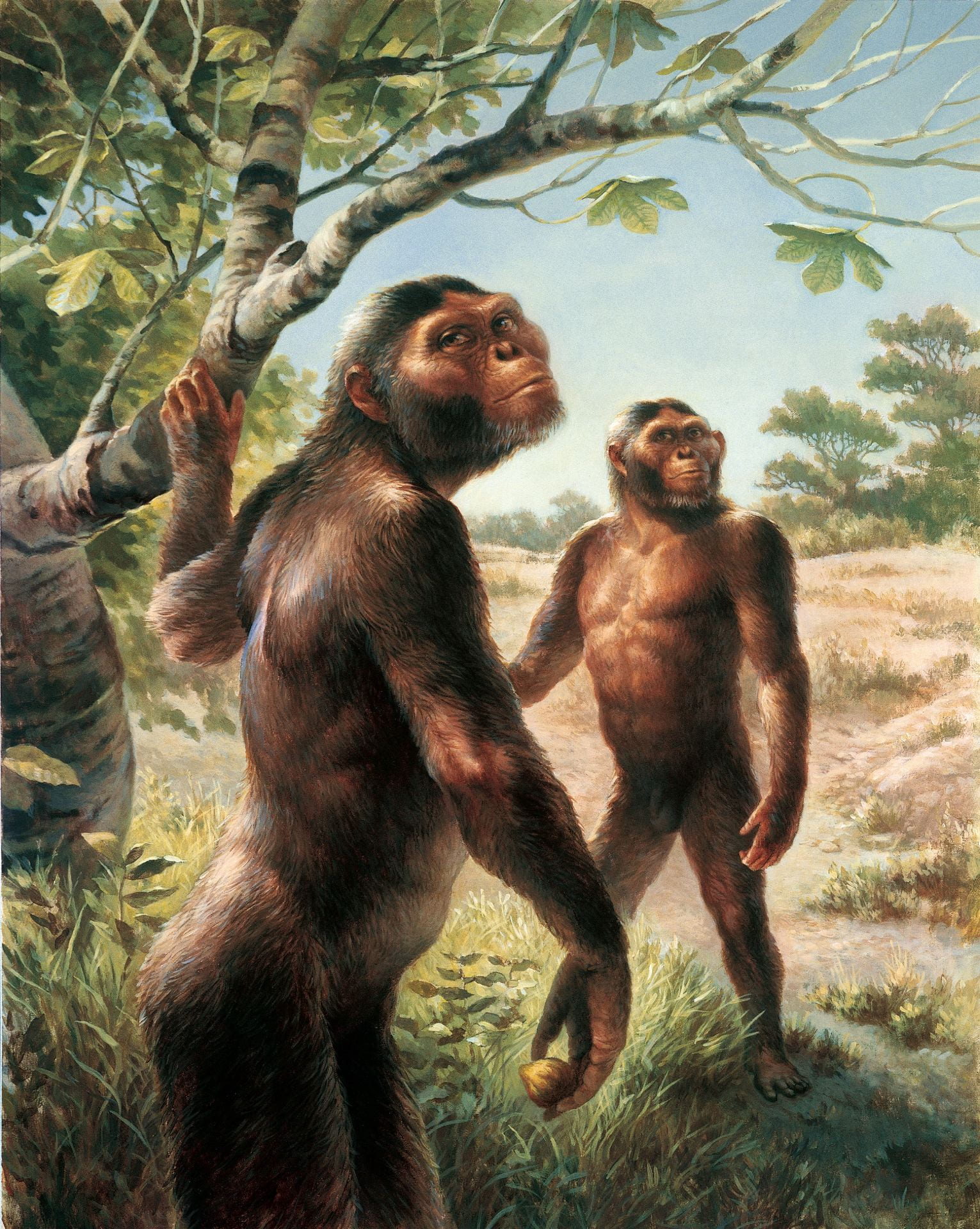 [An artist's rendering of two Australopithecus afarensis. They are both standing upright and are partially covered in black hair all over their bodies. One is grabbing a low tree branch.]