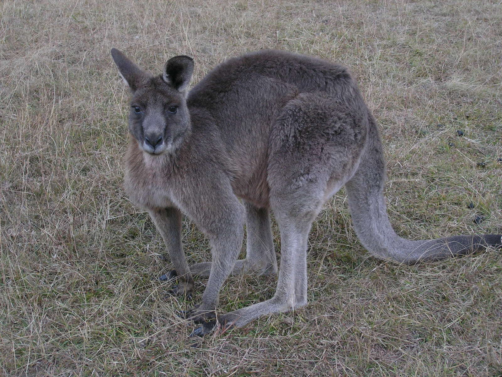 a photograph of the full body of an adult kangaroo with brownish-gray fur. The kangaroo is looking directly at the camera in a hunched over position.