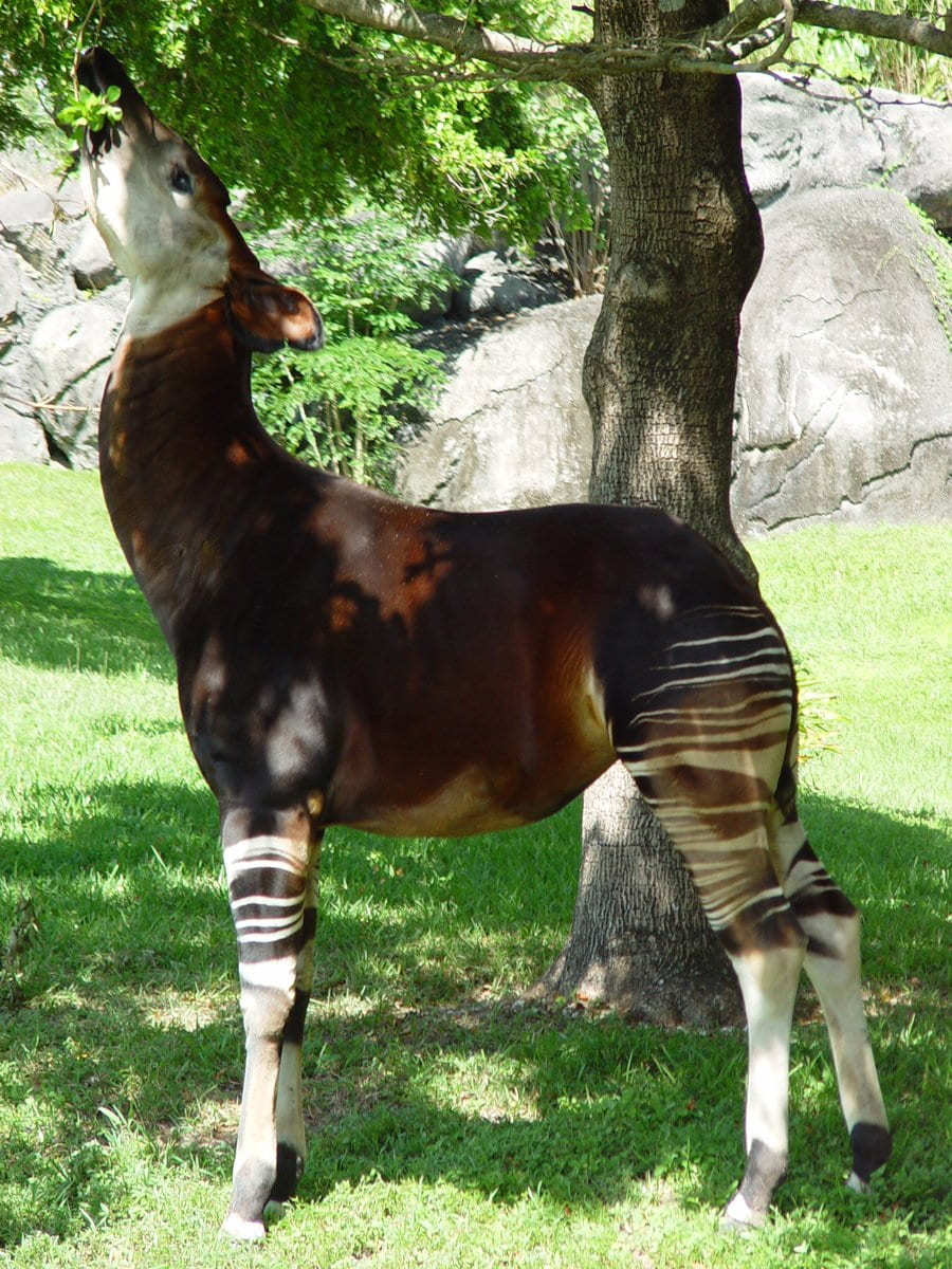 side view of a full body shot of an okapi reaching its head up to eat leaves from a tree.