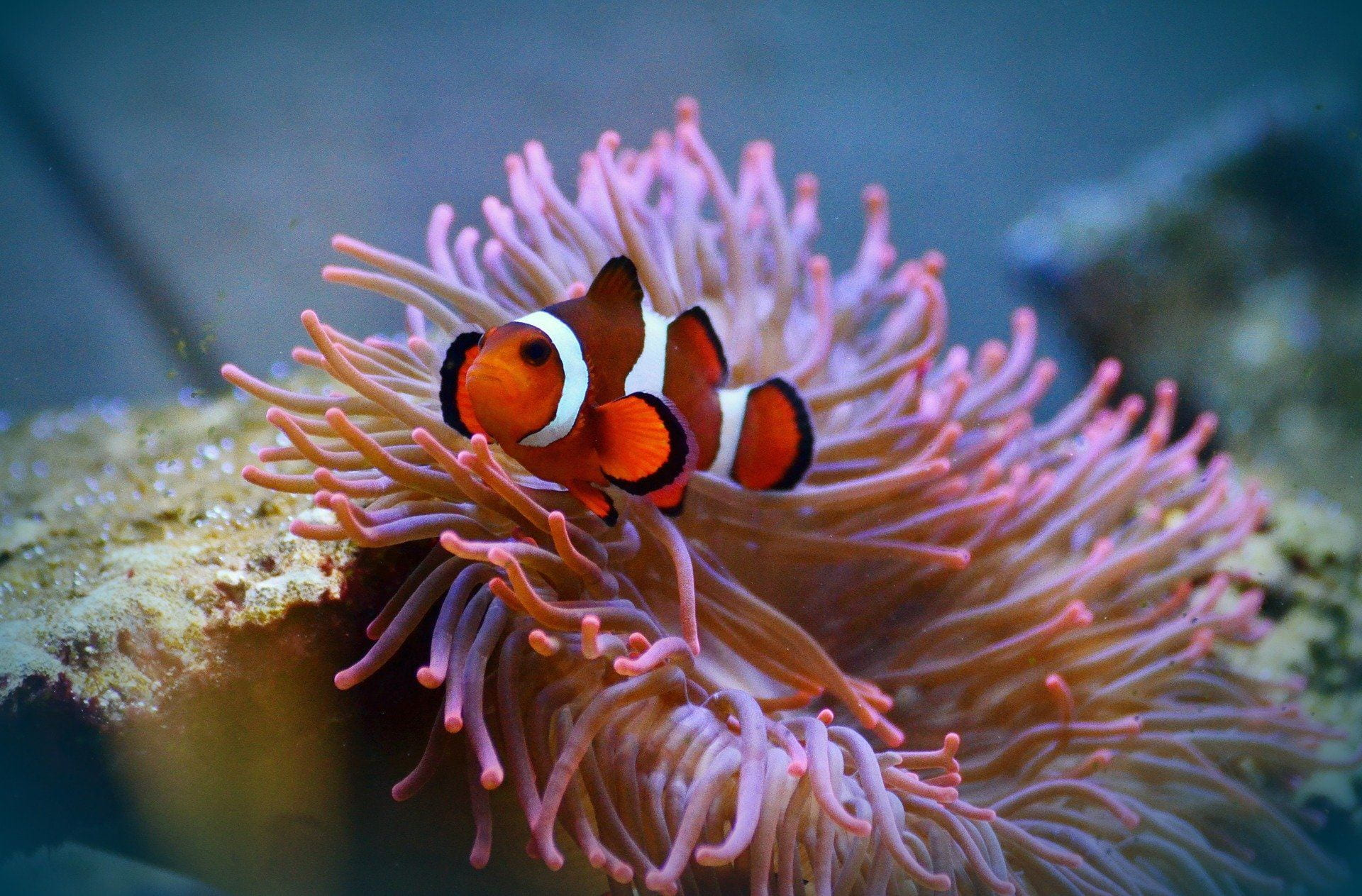 A white and orange striped fish swims in front of a light pink anemone in clear water.