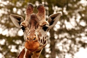 A zoomed-in, up-close portrait of a giraffe's face staring into the camera with a portion of its neck shown.