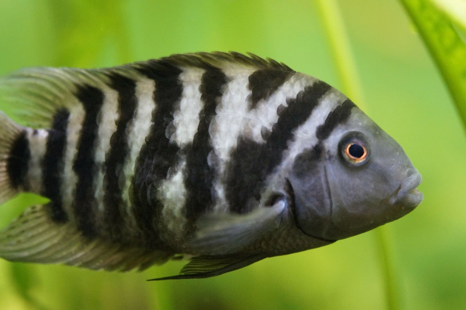 A black and white striped fish swims to the right in front of a blurred out green leaf.