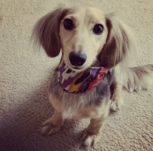 Pictured is Zoey Weaver, Dr. Weaver's dog, sitting facing the camera wearing a bright multi-colored bandana