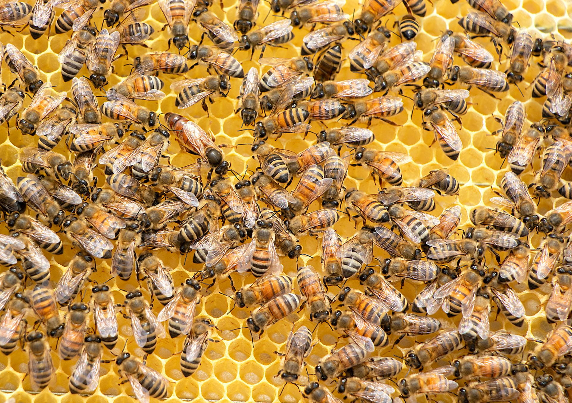 a photograph of a swarm of bees sitting on golden honeycomb. There are many bustling workers surrounding a significantly larger queen bee.
