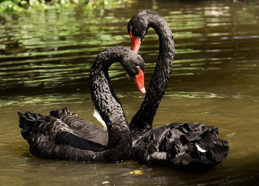 [Two black swans nuzzling on murky water.]
