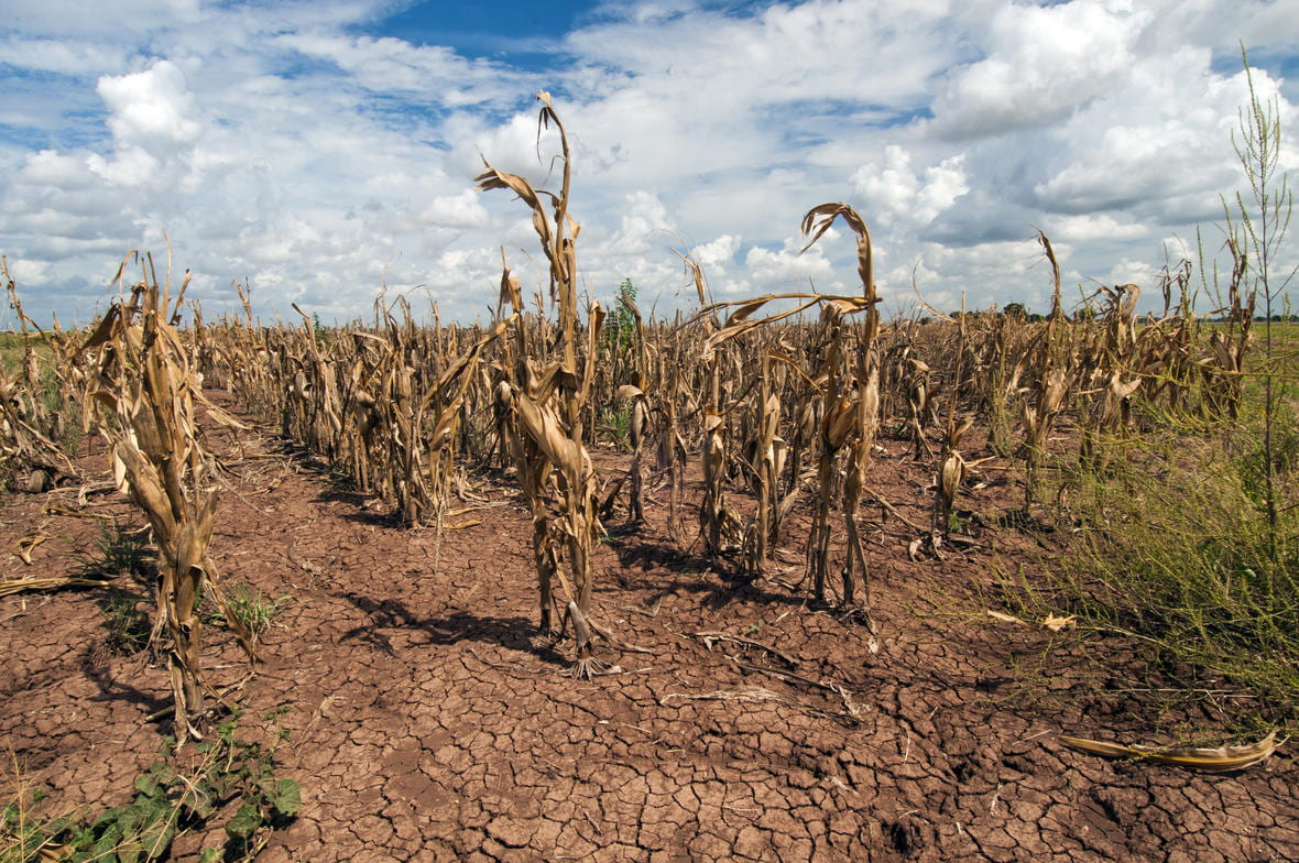 [A corn field during a drought with dry, cracked soil.]