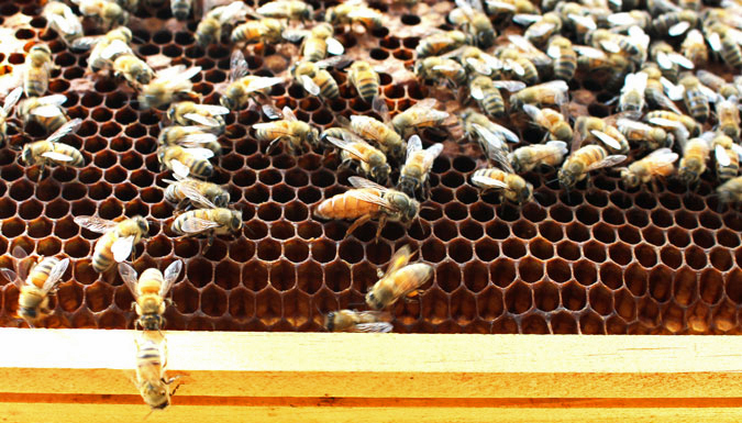 beehive's queen is surrounded by worker bees
