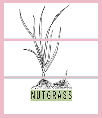 Nutgrass, a pop-up art gallery of contemporary art curated by University of Memphis Department of Art MFA Grad Toni Roberts, makes its debut this weekend's Sunflower Festival in North Mississippi.