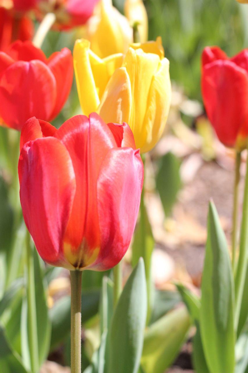 tulip season boomer blogs On what season are tulips