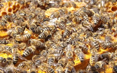 Weekly Beesearch: What is Colony Collapse Disorder?