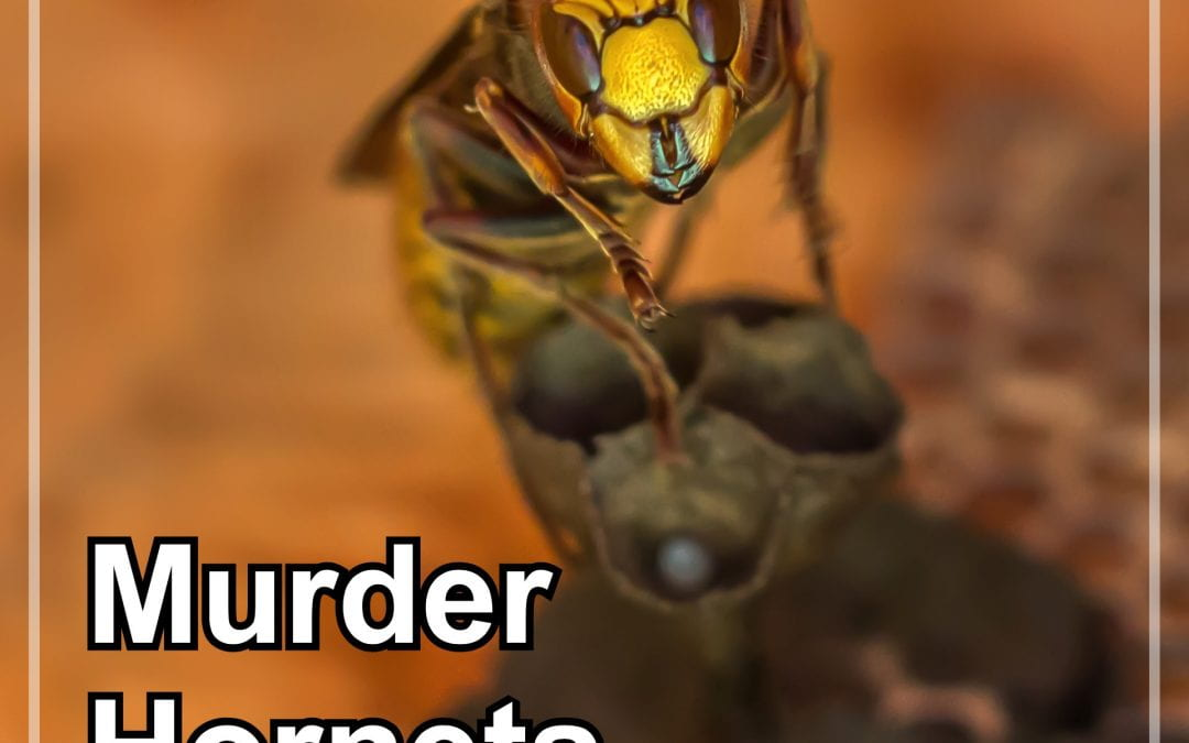 Monday Beesearch: Invasion of the Murder Hornets