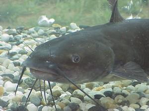 A Catfish