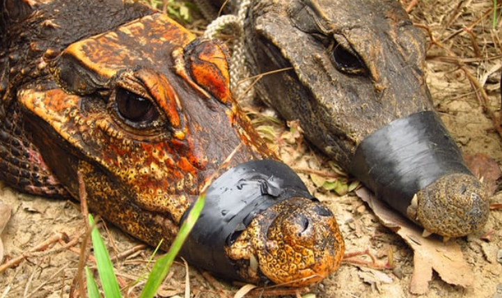 These Fascinating Orange Dwarf Crocodiles May Be Evolving Into A New Species