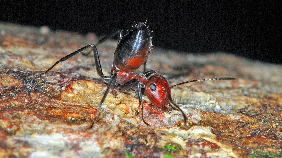 These Worker Ants Explode To Protect Their Nests From Predators