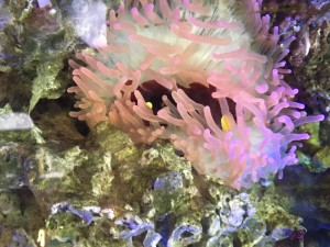 This is an anemone in one of the coral reef section's fish tanks