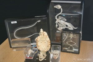 These skeletons are a great way to capture students interest in the fauna all around them and they are a great alternative just looking at pictures and videos
