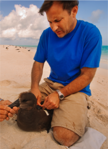 Professor Shaffer tags an albatross.