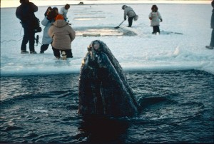 whale takes a peak at humans above the ice