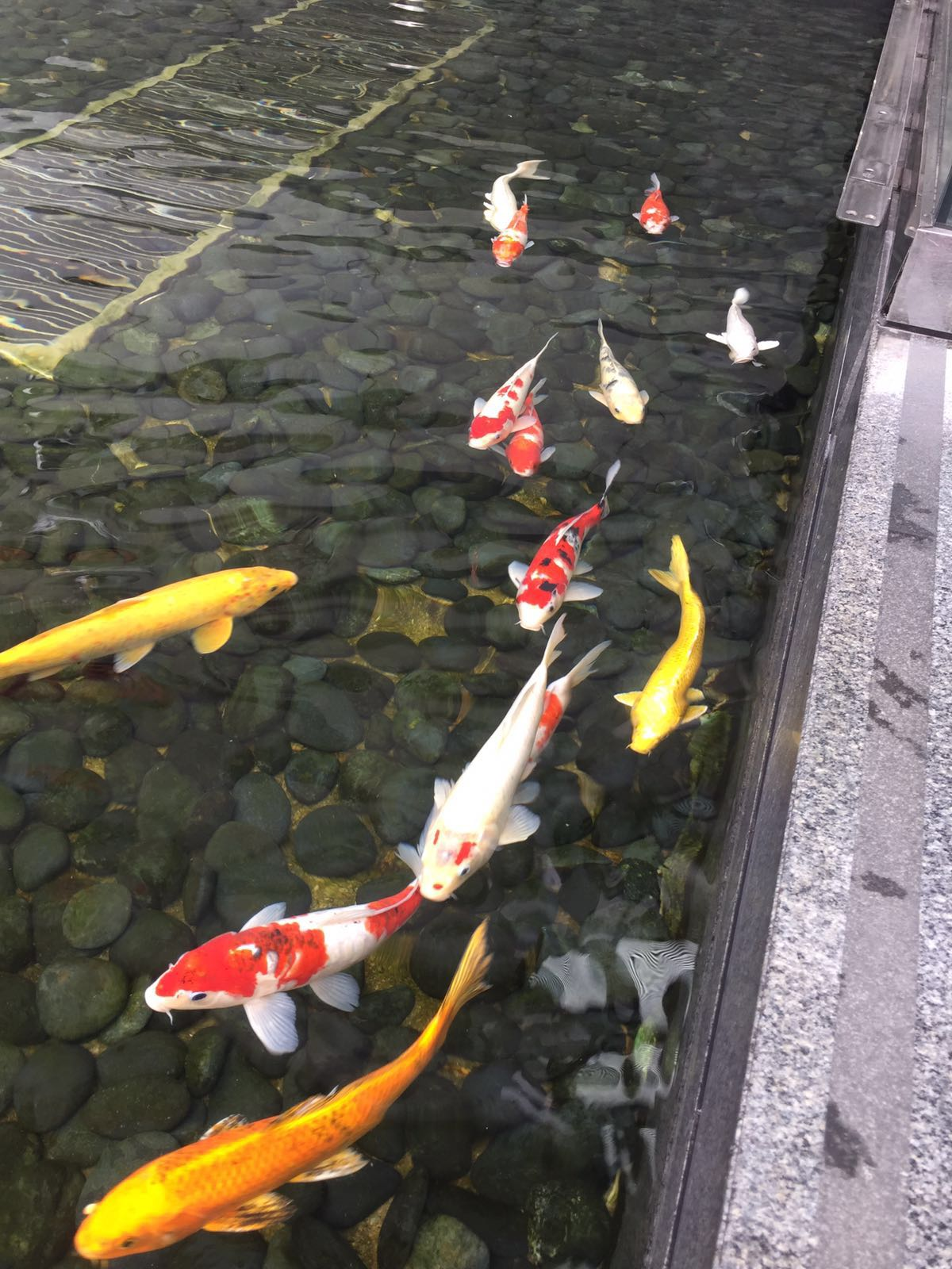 Rich history for a rich district hong kong faculty led for Koi fish representation
