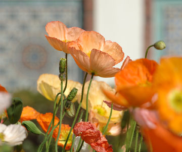 beautiful poppies in bloom