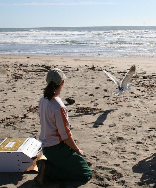 Outstanding Thesis Award recipient Danielle Frechette releasing radio-tagged western gull.