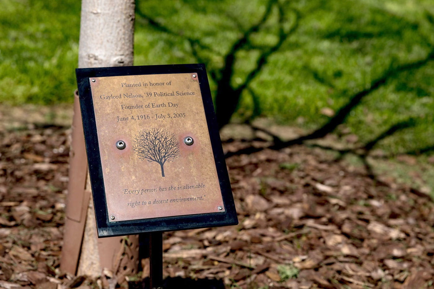 A plaque in front of a tree which says planted in honor of Gaylord Nelson.