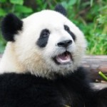 giant-panda-eating-jpg-adapt_-945-1-zx4fef-300x169