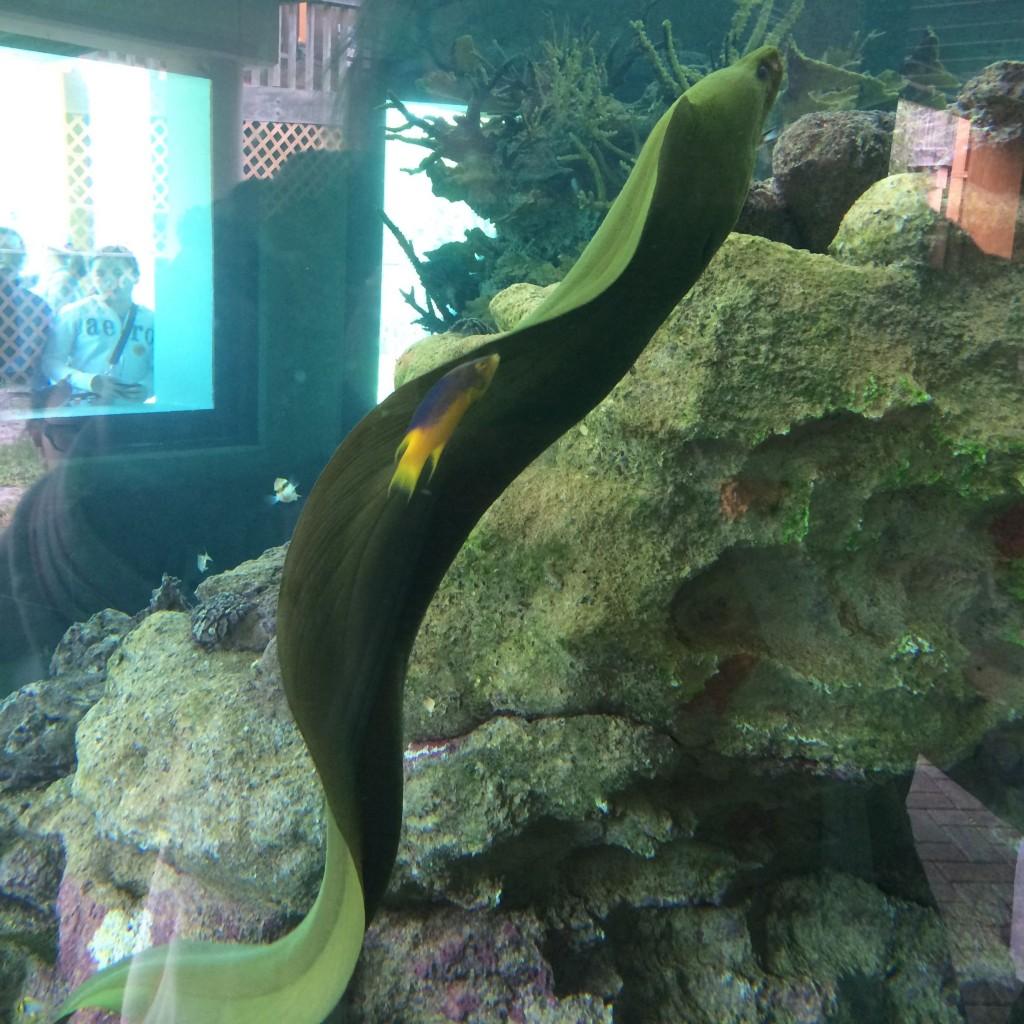 16. An eel
