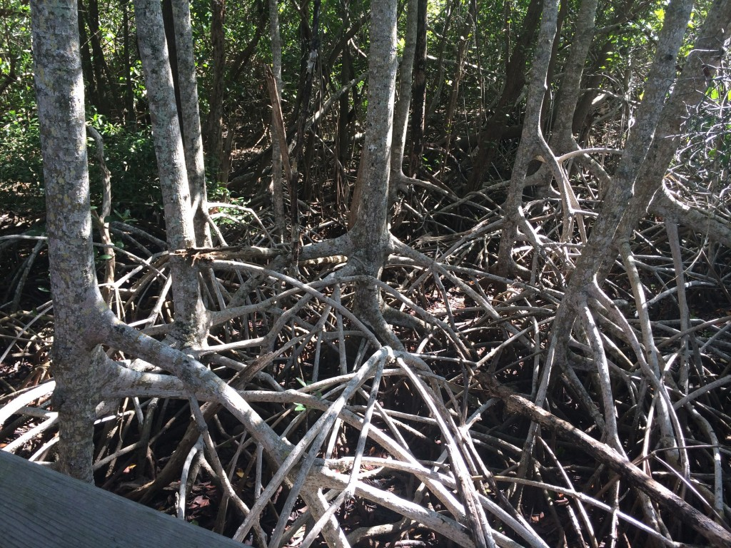 17. This is also a Mangrove