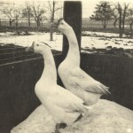 Two geese, undated [circa 1913-1942]