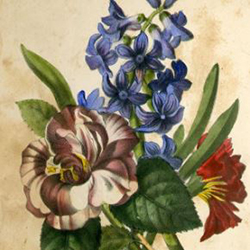 The hyacinth or affection's gift : a Christmas, New Year, and birth-day present, for 1853
