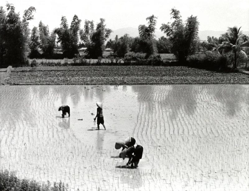 Four people work in a rice field