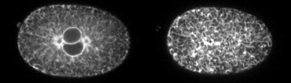 C elegans embryo during first division expressing ER marker fused to GFP