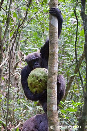 Chimpanzee Taxonomy Chimpanzees   The Ngog...